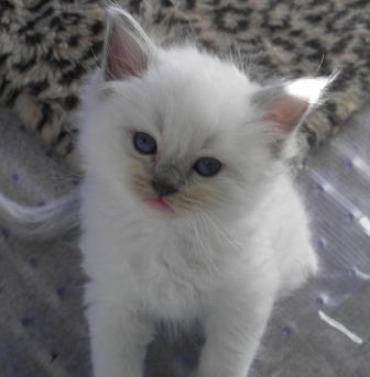 teacup ragdoll cat